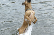 The Leaping Dog